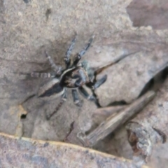 Jotus auripes (Jumping spider) at Jacka, ACT - 30 Jun 2021 by Christine