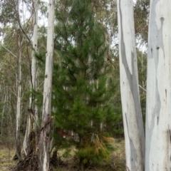 Pinus radiata (Monterey or Radiata Pine) at Cotter River, ACT - 2 Jul 2021 by Jek