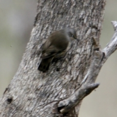 Climacteris picumnus (Brown Treecreeper) at Table Top, NSW - 2 Jul 2021 by PaulF