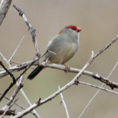Neochmia temporalis (Red-browed Finch) at Table Top, NSW - 2 Jul 2021 by PaulF
