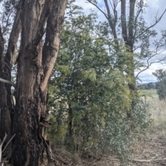 Acacia baileyana (Cootamundra Wattle, Golden Mimosa) at Table Top, NSW - 2 Jul 2021 by Darcy