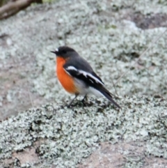 Petroica phoenicea (Flame Robin) at Table Top, NSW - 2 Jul 2021 by PaulF