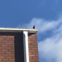 Sturnus vulgaris (Common Starling) at Lyneham, ACT - 18 Jun 2021 by Tapirlord