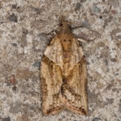 Epiphyas postvittana (Light Brown Apple Moth) at Melba, ACT - 23 Jun 2021 by kasiaaus