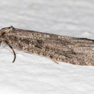 Lepidoscia (genus) at Melba, ACT - 27 Jun 2021