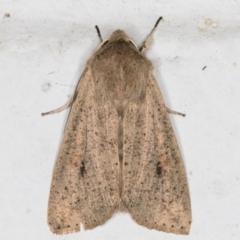 Mythimna convecta (Common Armyworm) at Melba, ACT - 28 Jun 2021 by kasiaaus