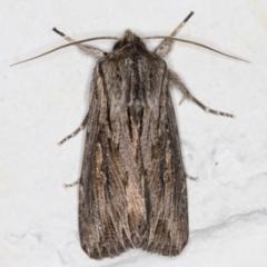 Persectania ewingii (Southern Armyworm) at Melba, ACT - 28 Jun 2021 by kasiaaus
