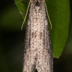 Lepidoscia (genus) (Unidentified cone case moth) at Melba, ACT - 29 Jun 2021 by kasiaaus