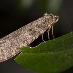 Lepidoscia (genus) at Melba, ACT - 29 Jun 2021