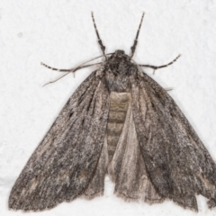 Chlenias banksiaria group (A Geometer moth) at Melba, ACT - 29 Jun 2021 by kasiaaus