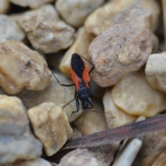 Ectomocoris sp. (genus) (TBC) at Wamboin, NSW - 12 Feb 2021 by natureguy