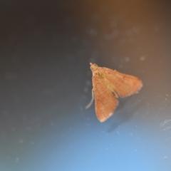 Endotricha pyrosalis (A Pyralid moth) at Wamboin, NSW - 14 Feb 2021 by natureguy
