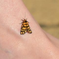 Asura lydia (Lydia Lichen Moth) at Wamboin, NSW - 27 Feb 2021 by natureguy