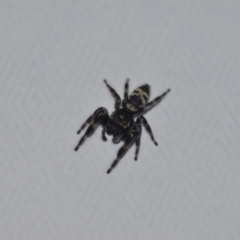 Sandalodes superbus (Ludicra Jumping Spider) at Wamboin, NSW - 8 Mar 2021 by natureguy