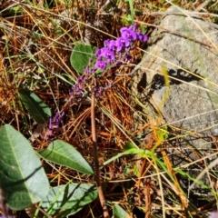 Hardenbergia violacea (False Sarsaparilla) at Isaacs, ACT - 3 Jul 2021 by Mike