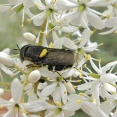 Odontomyia sp. (genus) (Soldier fly) at Theodore, ACT - 1 Jan 2021 by Owen
