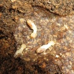 Unidentified Termite (superfamily Termitoidea) (TBC) at Stromlo, ACT - 3 Jul 2021 by Christine