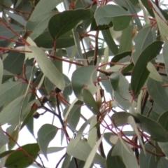 Eucalyptus macrorhyncha (Red Stringybark) at Denman Prospect, ACT - 3 Jul 2021 by Christine