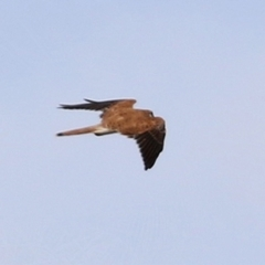 Falco cenchroides (Nankeen Kestrel) at Bonython, ACT - 3 Jul 2021 by RodDeb