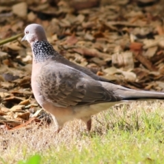 Streptopelia chinensis (Spotted Dove) at Wodonga, VIC - 3 Jul 2021 by Kyliegw