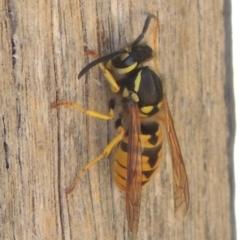 Vespula germanica (European wasp) at Conder, ACT - 6 Mar 2021 by michaelb