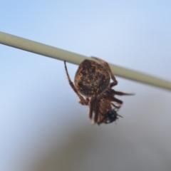 Araneinae (subfamily) (Orb weaver) at Wamboin, NSW - 8 Apr 2021 by natureguy
