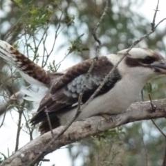 Dacelo novaeguineae (Laughing Kookaburra) at Boro, NSW - 1 Jul 2021 by Paul4K
