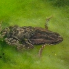 Crinia signifera (Common Eastern Froglet) at Boro, NSW - 2 Jul 2021 by Paul4K