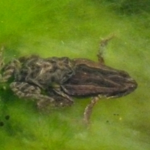 Crinia signifera at Boro, NSW - 3 Jul 2021