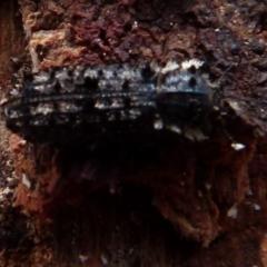 Leperina lacera (Trogossitid beetle) at Boro, NSW - 3 Jul 2021 by Paul4K