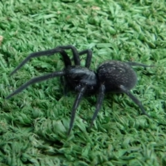 Badumna sp. (genus) (Lattice-web spider) at Boro, NSW - 3 Jul 2021 by Paul4K