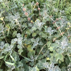 Marrubium vulgare (Horehound) at Hughes, ACT - 4 Jul 2021 by ruthkerruish