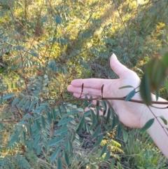 Indigofera australis subsp. australis (Australian Indigo) at Goulburn, NSW - 30 Jun 2021 by Rixon