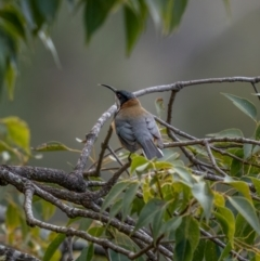Acanthorhynchus tenuirostris (Eastern Spinebill) at Bungonia, NSW - 2 Jul 2021 by trevsci