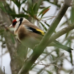 Carduelis carduelis (European Goldfinch) at South Albury, NSW - 5 Jul 2021 by PaulF