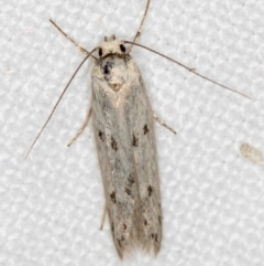 Unidentified Moth (Lepidoptera) (TBC) at Melba, ACT - 13 Nov 2018 by Bron