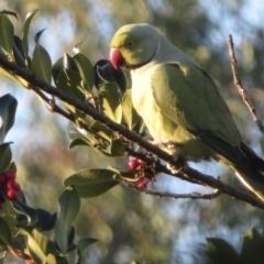 Psittacula krameri (Rose-ringed Parakeet) at Narrabundah, ACT - 5 Jul 2021 by RobParnell