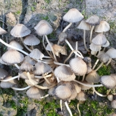 Coprinellus etc. (An Inkcap) at Cook, ACT - 4 Jul 2021 by drakes