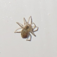 Unidentified Spider (Araneae) (TBC) at Flynn, ACT - 3 Jul 2021 by Christine
