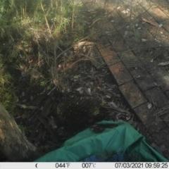 Tachyglossus aculeatus (Short-beaked Echidna) at Greenleigh, NSW - 2 Jul 2021 by LyndalT