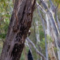 Cormobates leucophaea (White-throated Treecreeper) at Uriarra, NSW - 6 Jul 2021 by hughagan