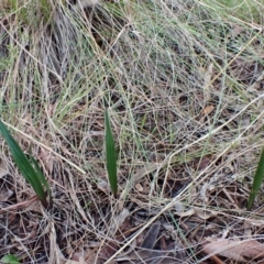 Thelymitra brevifolia (Short-leaf sun orchid) at Cook, ACT - 29 Jun 2021 by CathB
