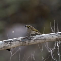 Caligavis chrysops (Yellow-faced Honeyeater) at Theodore, ACT - 3 Jul 2021 by trevsci