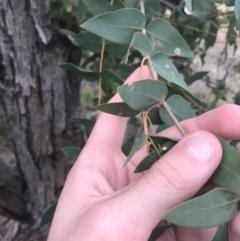 Eucalyptus elata (River Peppermint) at Hughes, ACT - 21 Jun 2021 by Tapirlord
