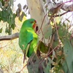 Lathamus discolor (Swift Parrot) at Kambah, ACT - 6 Jul 2021 by HelenCross