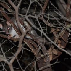Pseudocheirus peregrinus (Common Ringtail Possum) at Wamboin, NSW - 30 Apr 2021 by natureguy