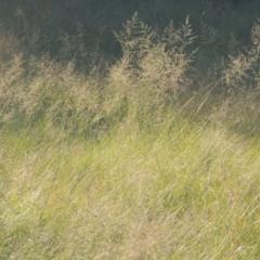 Eragrostis curvula (African Lovegrass) at Bonython, ACT - 4 Apr 2021 by michaelb