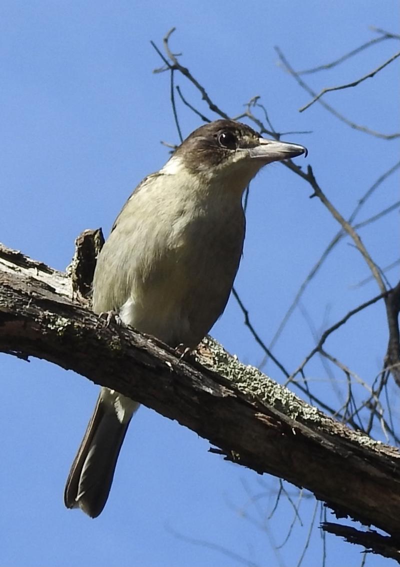 Cracticus torquatus at Mittagong, NSW - 7 Jul 2021