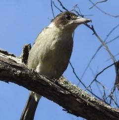 Cracticus torquatus (Grey Butcherbird) at Mittagong, NSW - 7 Jul 2021 by GlossyGal