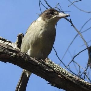 Cracticus torquatus (Grey Butcherbird) at Mittagong, NSW by GlossyGal